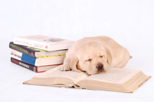 Sleeping labrador puppy with books